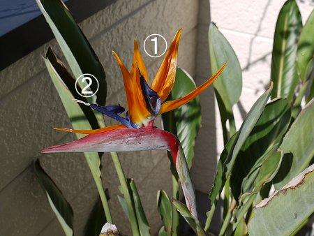 ストレリチア、2番目の花