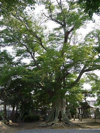 雄大に枝分かれして茂る大欅