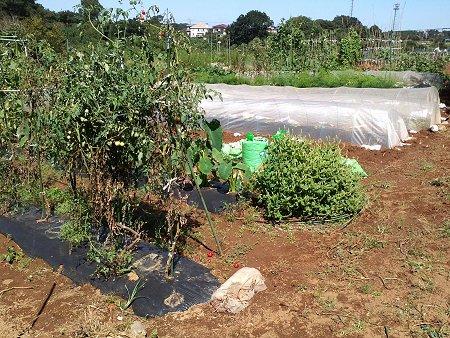 手前のミニトマトは、10月いっぱい採れます