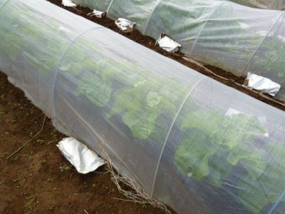 白菜は10mの畝に16株植えています