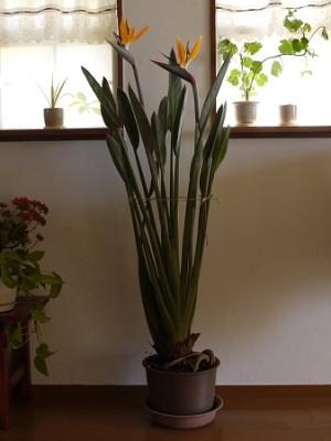 今年もストレリチア(極楽鳥花)が咲きました
