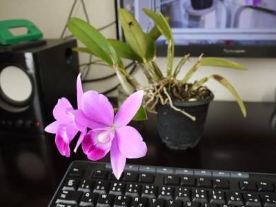 机の上で、ミニカトレアが咲いています