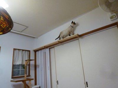 キャットタワーを作り、家の鴨居の上にも、猫の歩道をつけてやりました。