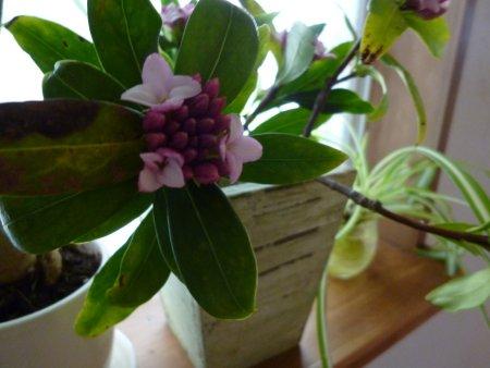 こちらは、ジンチョウゲ。このジンチョウゲも甘い芳香を漂わせて咲き乱れています。只今、ほぼ開花し、我が家の玄関先は心地よい香りに包まれています。