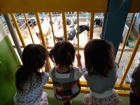 乳牛の見学。大きな牛に子供達はビックリ。一頭の牛が豪快に用足しをする場面では、子供達の歓声が上がりました。
