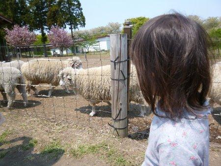 沢山の羊を見てきました。有料ですが、羊のお散歩、餌やりなども体験できます。