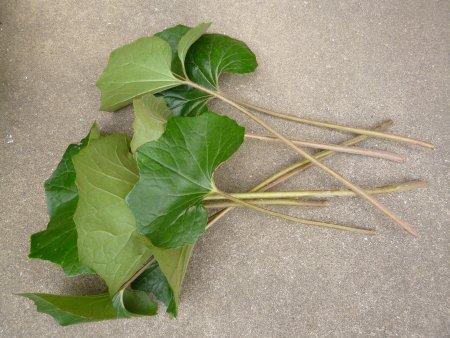 切るとこんな感じです。フキの葉は切り落とし、茎を使います。