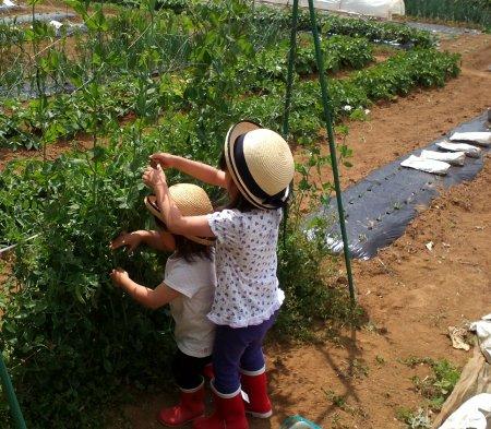現在、達風農園では、スナップエンドウ、キャベツ、春菊、カブ、大根などが収穫できます。
