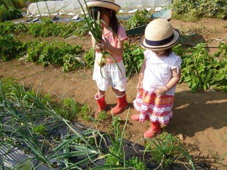 前回、車で寝ていた次女も参加。子供達は泥んこになりながらも、楽しそうに収穫していました。