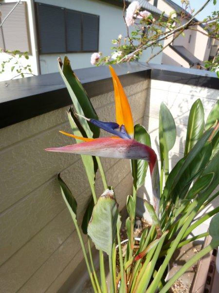 花を咲かせることは稀なストレリチア。我が家の運よく、咲かせました。この珍しい花を観賞するのがブームです。