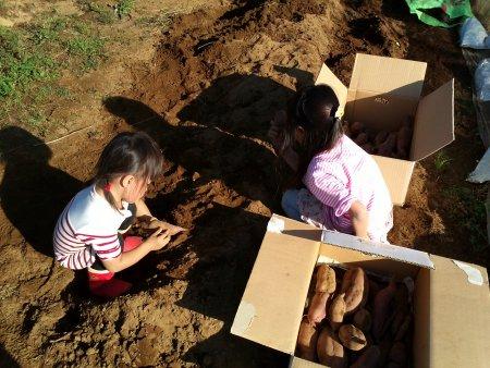 掘り出したサツマイモはダンボールに入れて、保存食に。