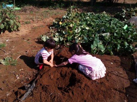 子供達が全部のサツマイモを収穫しました。因みに、サツマイモの蔓も美味しいですよ。