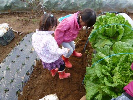 白菜の虫取り。11月に白菜につく沢山の虫を除去しました。これが大変・・腰は痛いし、寒いし、大変な作業です。