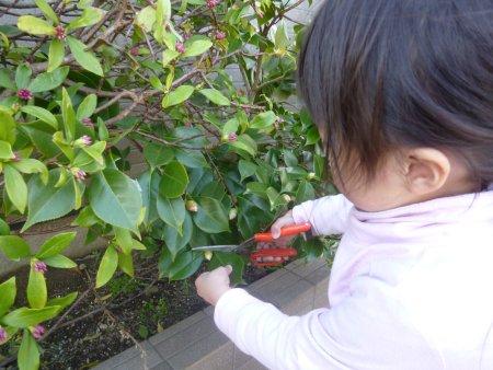 柏の代替品、椿の収穫。